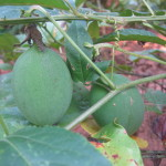 Unripe passion fruit on the vine.