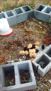 The chicks in their first playpen.